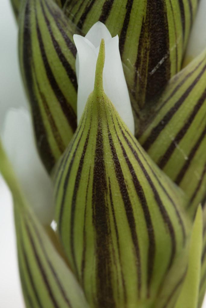 Guzmania monostachia 1871-1; Bromeliaceae (4)
