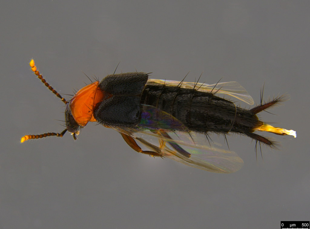 3b - Staphylinidae sp.