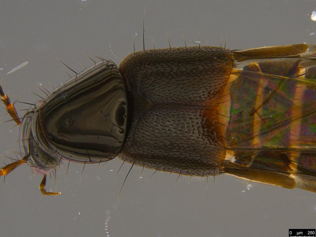 4b - Staphylinidae sp.