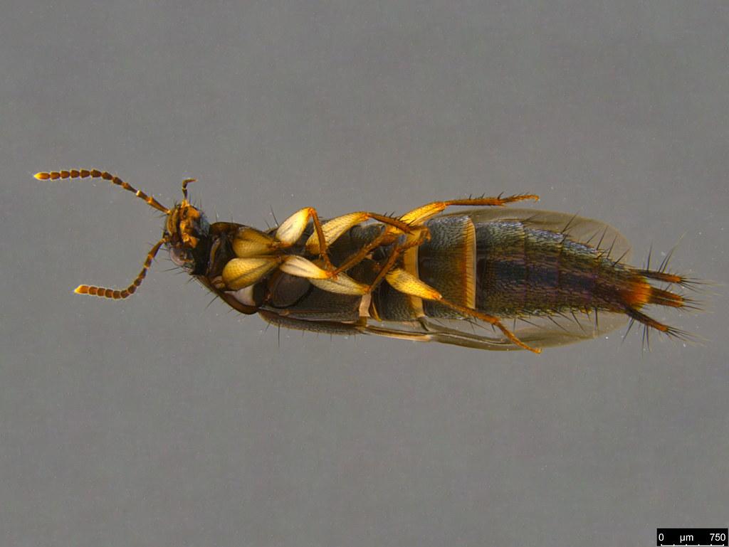 4d - Staphylinidae sp.