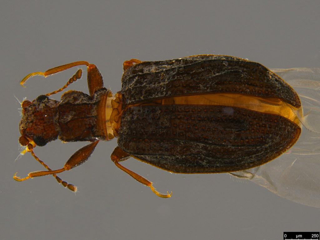 6b - Cartodere sp.