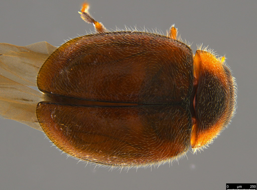 9a - Coccinellidae sp.