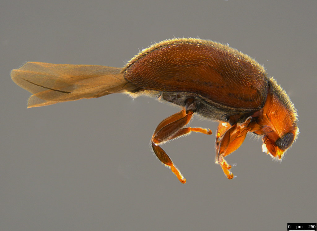 9b - Coccinellidae sp.