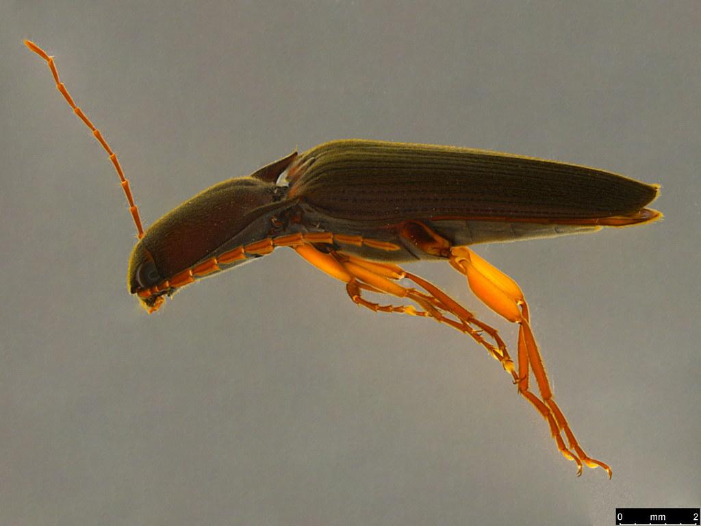 10a - Elateridae sp.