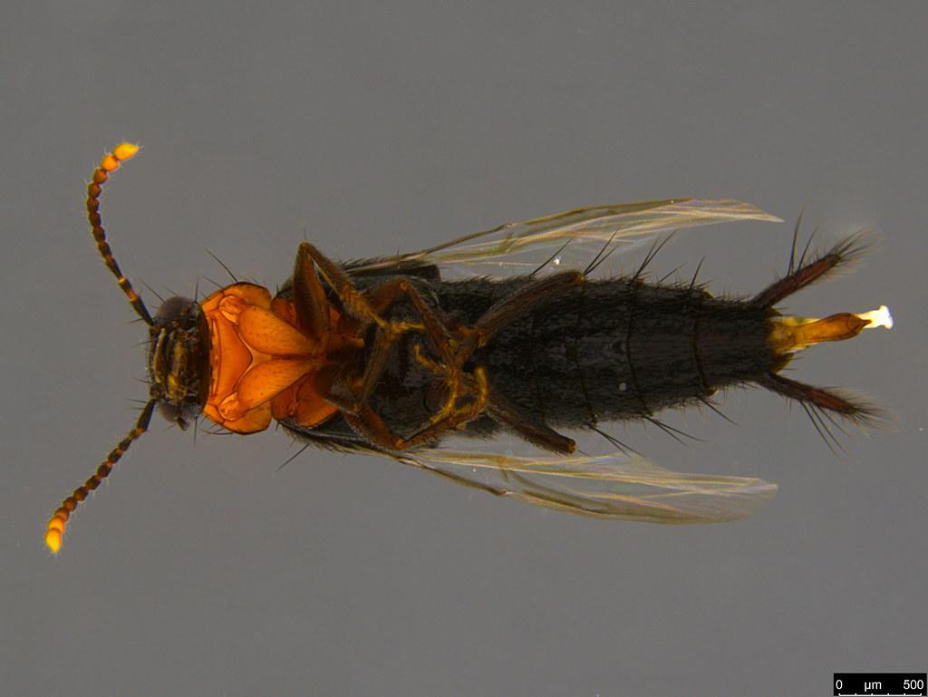 3c - Staphylinidae sp.