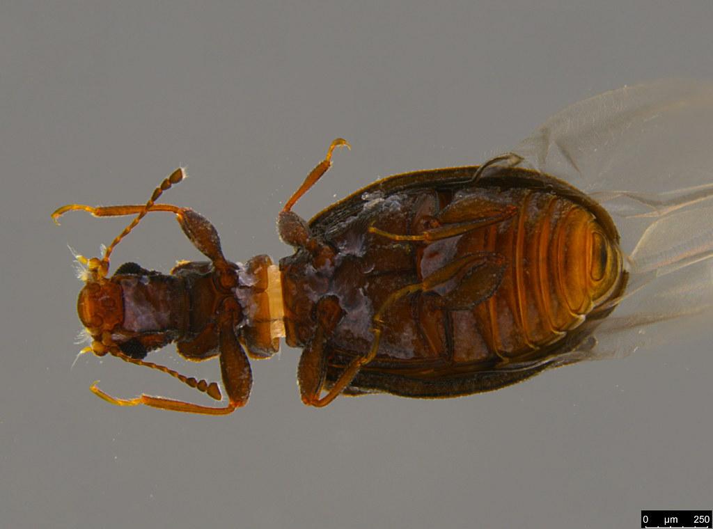 6d - Cartodere sp.