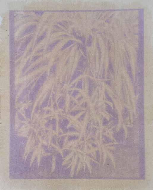Spider Plant anthotype