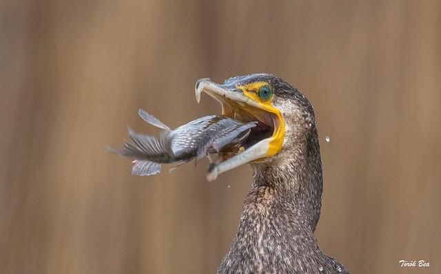 Nagy kárókatona (Phalacrocorax carbo)
