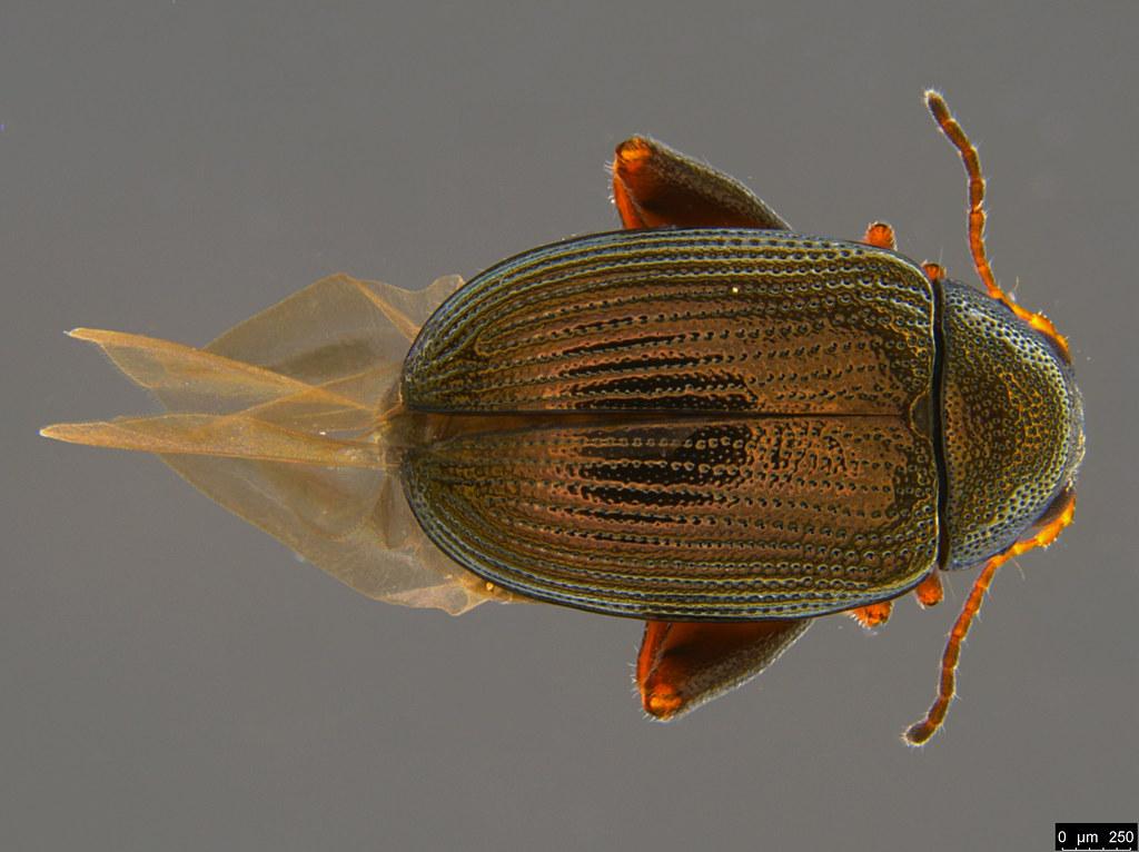 5a - Alticini sp.