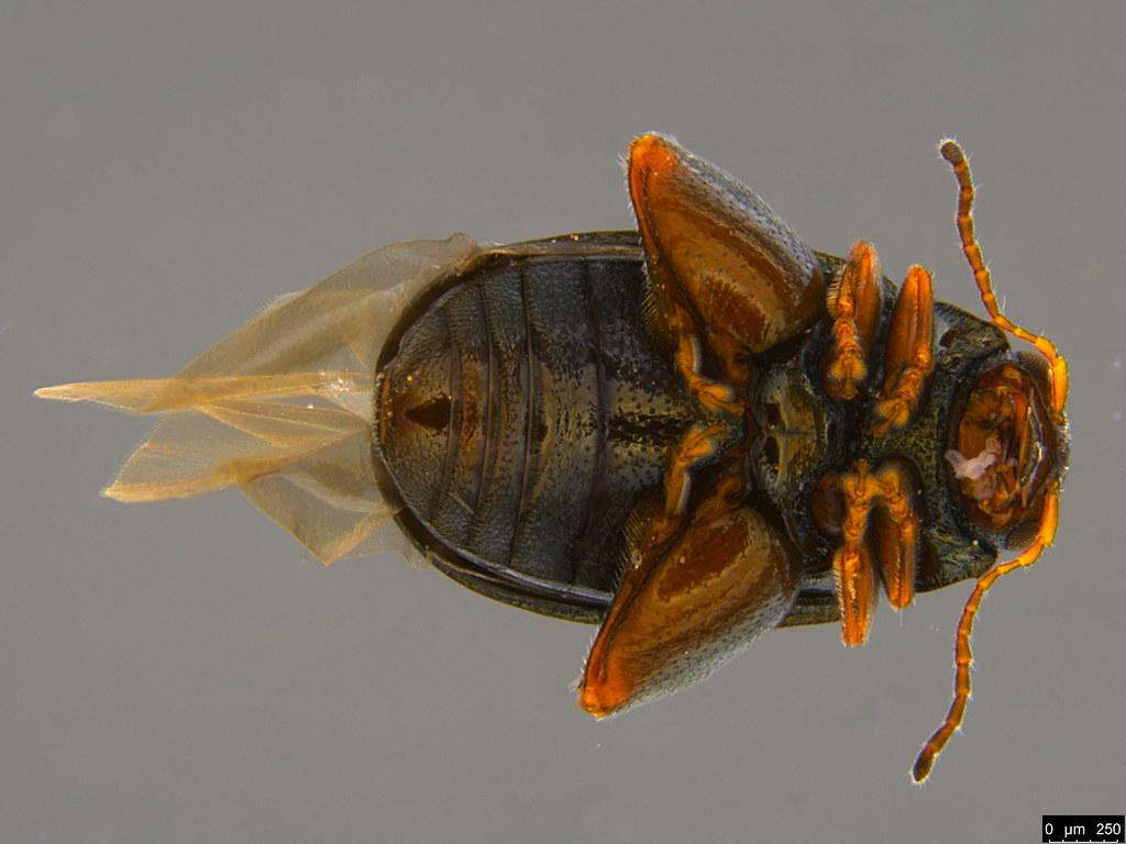 5b - Alticini sp.