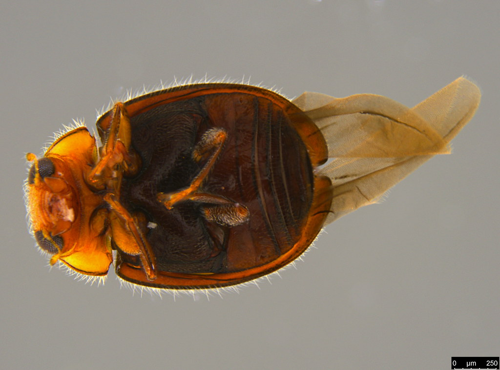 9c - Coccinellidae sp.