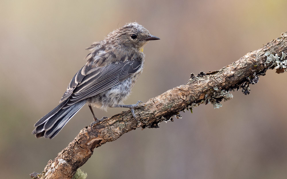 Moulting Yellow-rumped Warbler