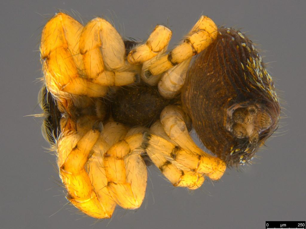 2b - Salticidae sp.