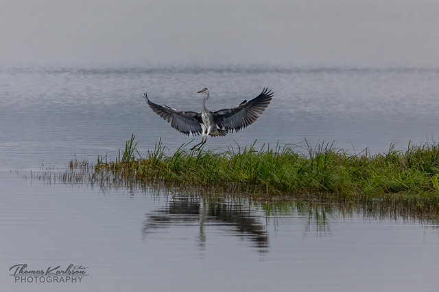 Grey Heron touch down