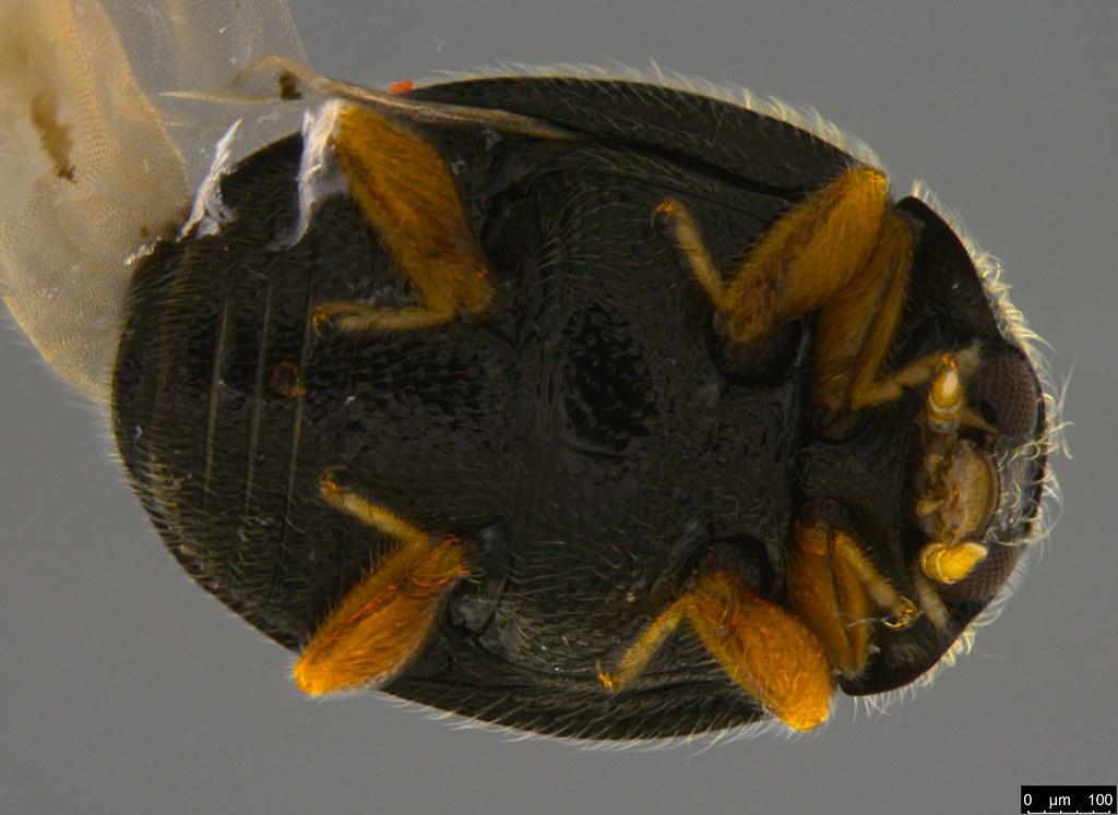 8c - Coccinellidae sp.