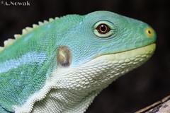 young Brachylophus fasciatus male