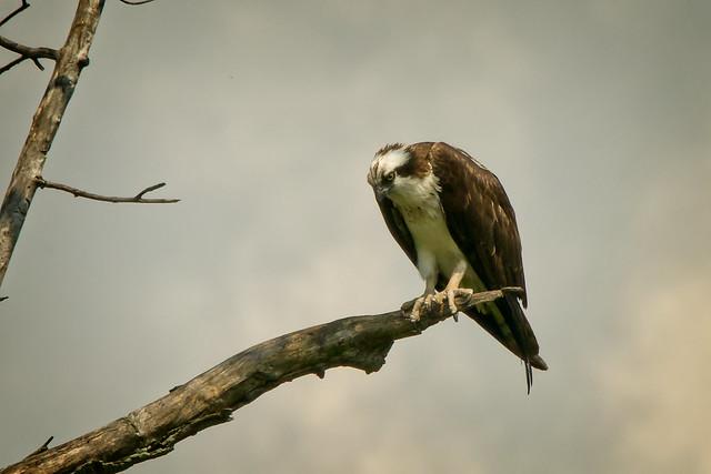_DSC5936 Osprey staring intently