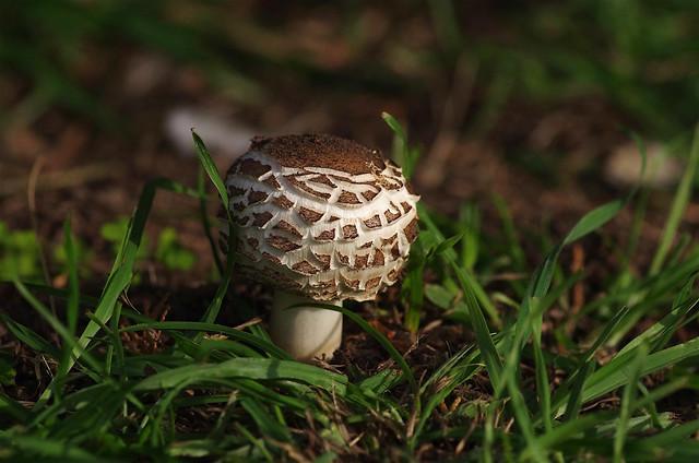 Shaggy Parasol mushroom - Chlorophyllum rhacodes