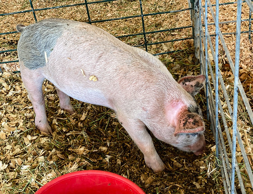 pigs-20210912-106
