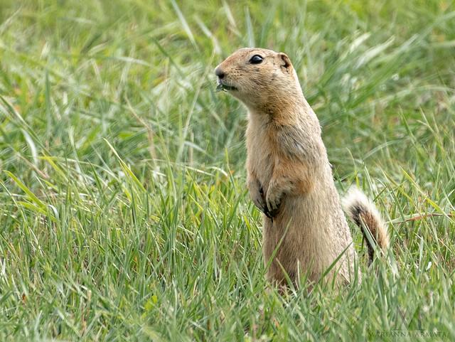 black-tail ground squirrel
