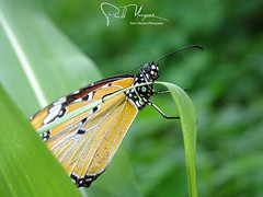 """""""African monarch"""", Butterfly, African queen, plain tiger, Danaus chrysippus, Insect, Close up, Bokeh, Namialo, Nampula, Mozambique, Africa"""