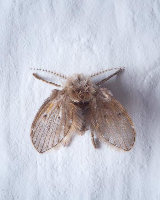 Bathroom Moth Fly