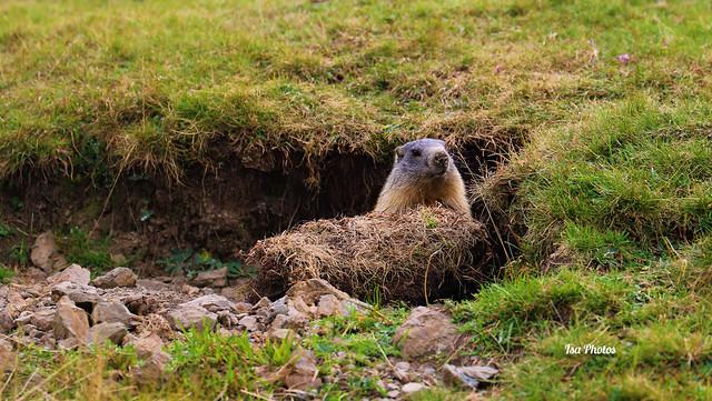 Marmotte curieuse