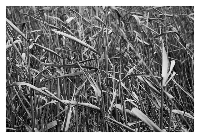 Wild Grass II