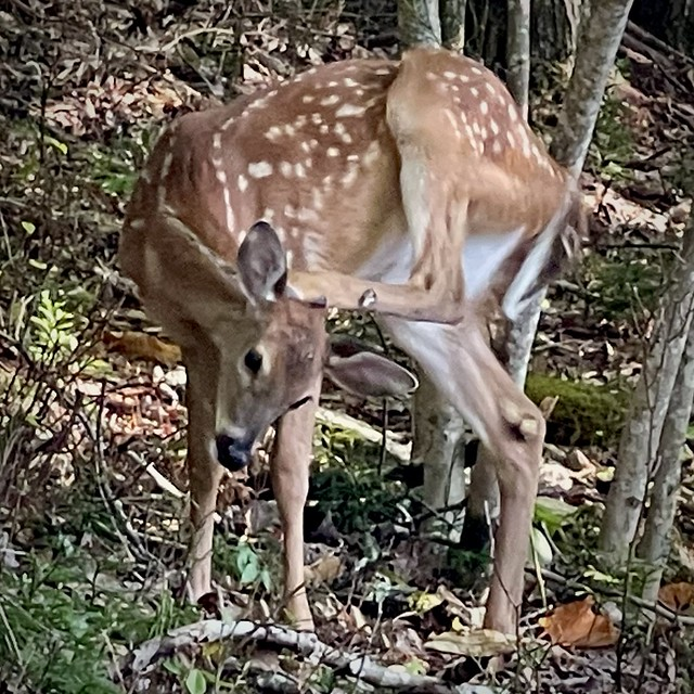 Fawn Patting Itself on its Head