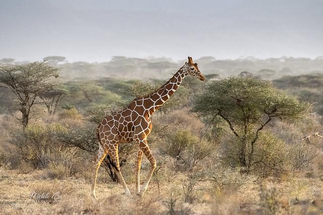 _DSC2169 _ Rothschild Giraffe