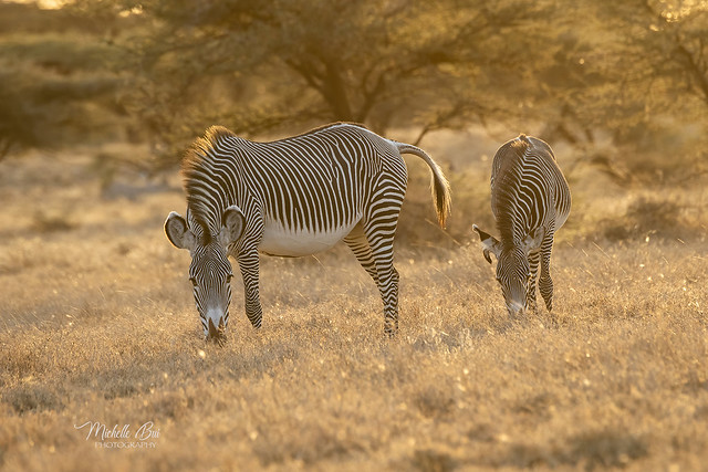 _DSC1494 _ Grevy's Zebras in the morning light !