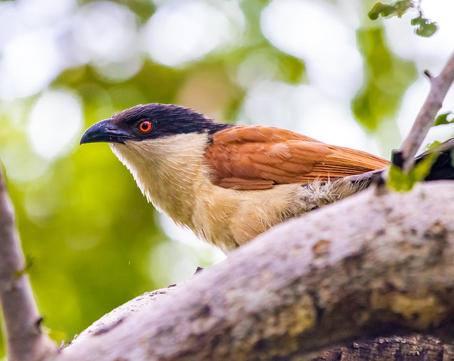 The piercing eyes of the Senegal coucal