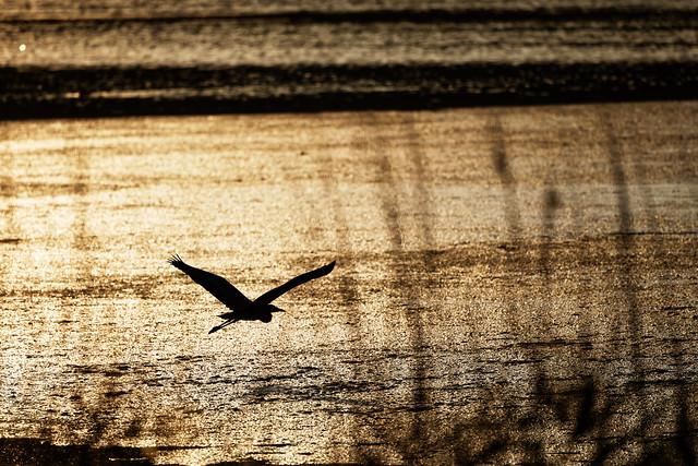 heron in golden sunlight