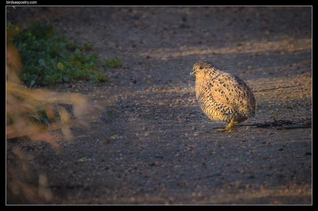 Brown Quail: Along the Track