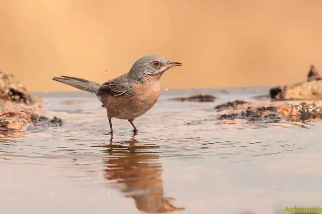 Curruca carrasqueña, macho-Sylvia cantillans-Subalpine warbler, male