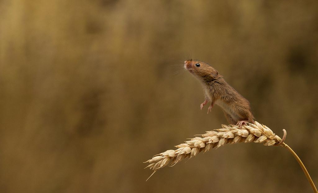 Harvest Mouse-1a-LP-crop