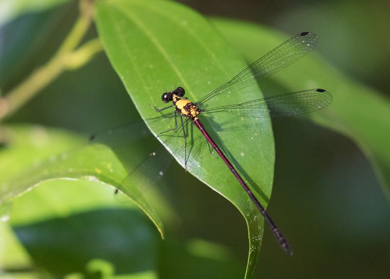 Austroargiolestes chrysoides (Golden Flatwing)