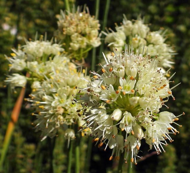2021-09-09 Allium ericetorum - BG Teplice