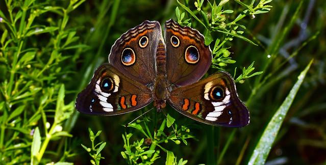Encounter With the Dark Side~ Common Buckeye Butterfly (Junonia coenia)