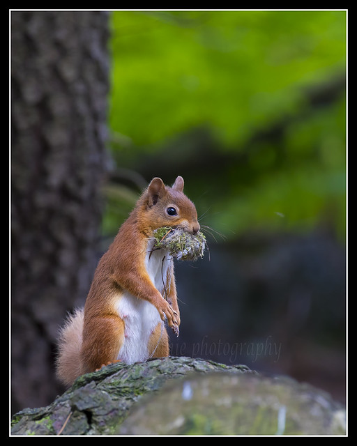 _MG_0012 Red Squirrel