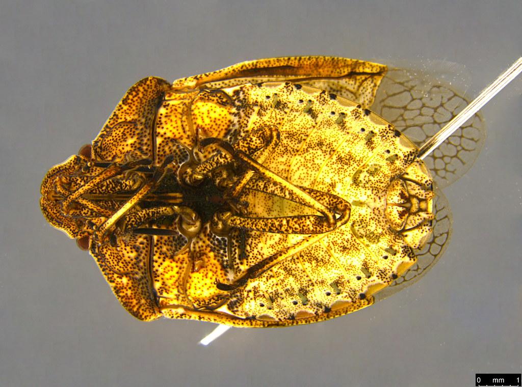 16b - Pentatomomorpha sp.