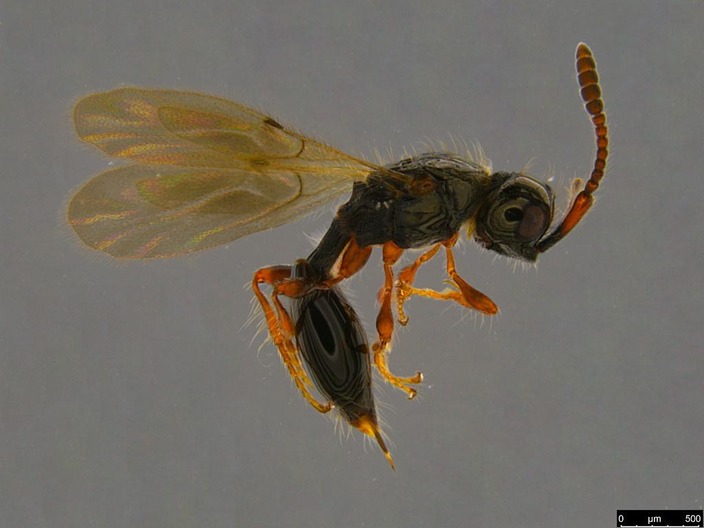18a - Diapriidae sp.