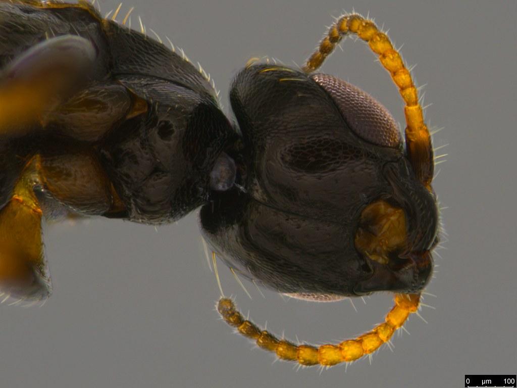 19d - Bethylidae sp.