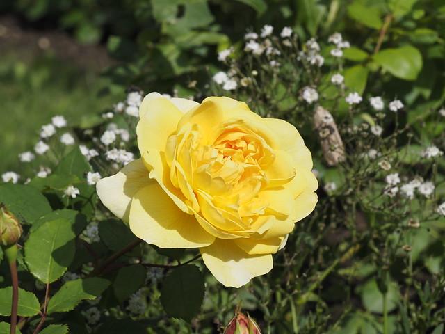 Rosa 'Poet's Wife'