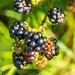 Autumnal Fruit Blackberry