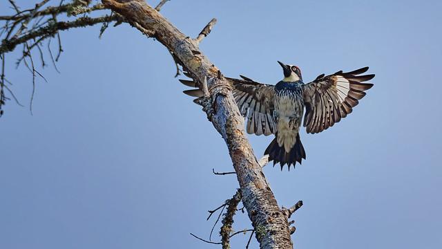 Landing: Acorn Woodpecker