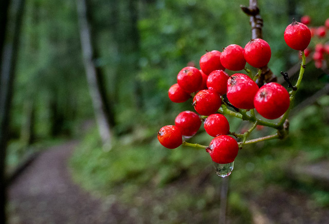 Rowanberries in the forest
