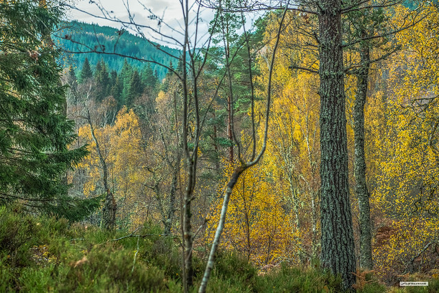 The trees near Plodda Falls in Glen Affric in Autumn are mesmerising in their colours and tones. Inverness-shire, Scotland.