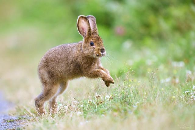 Snowshoe Hare - Lièvre d'Amérique
