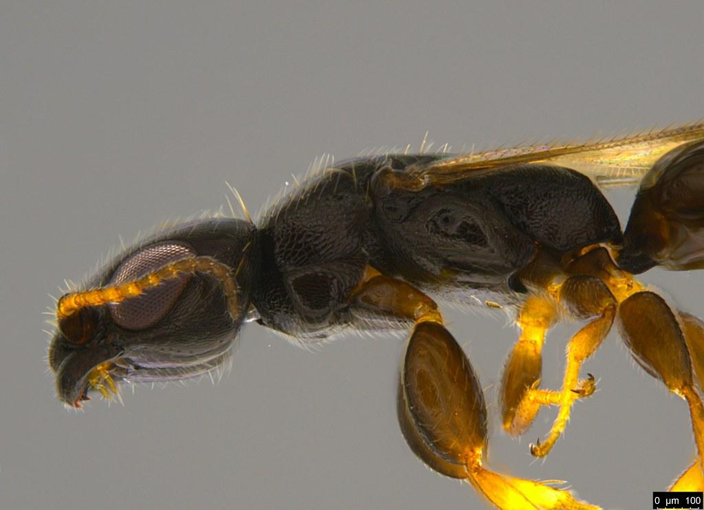 19b - Bethylidae sp.